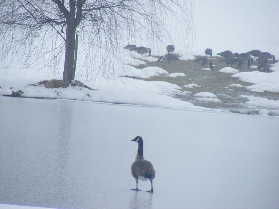 Geese Photograph - Walking On Water by James and Vickie Rankin