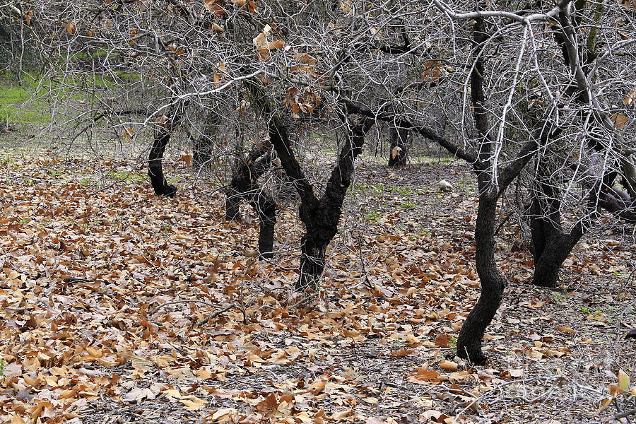 California Photograph - Walking Trees. by Viktor Savchenko