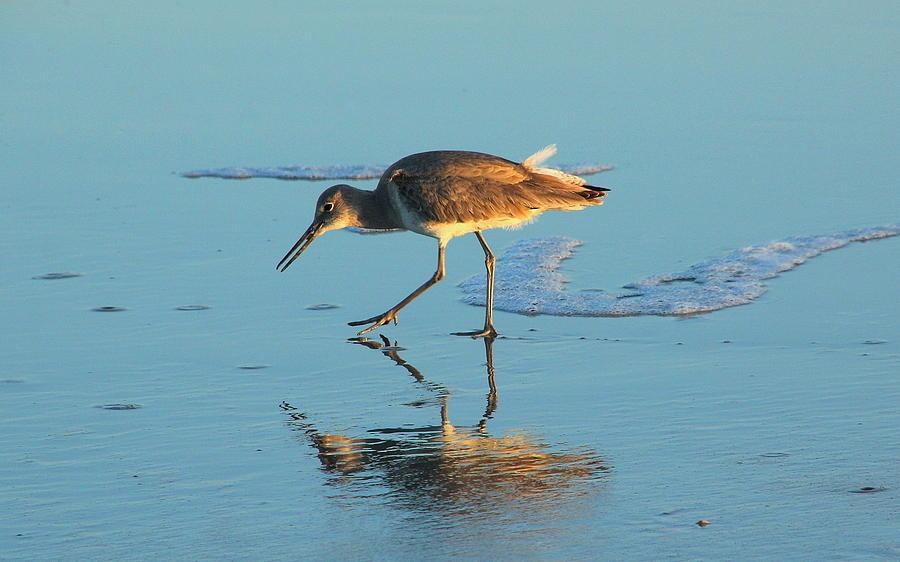 Bird Photograph - Walking Willet by Rosanne Jordan