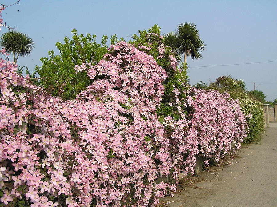Flowers Photograph - Wall Of Beauty In Ireland by Jeanette Oberholtzer
