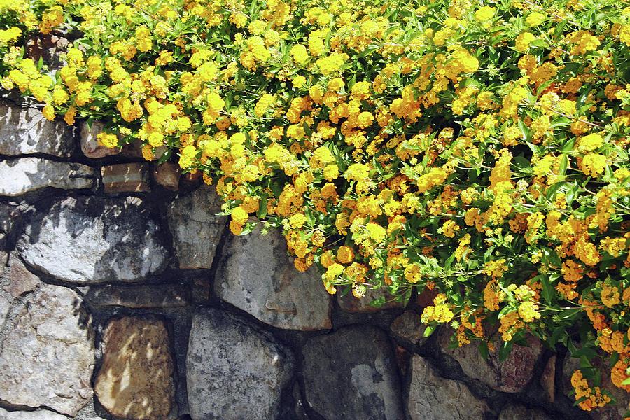 Wall of Lantanas by Shirley Roberson