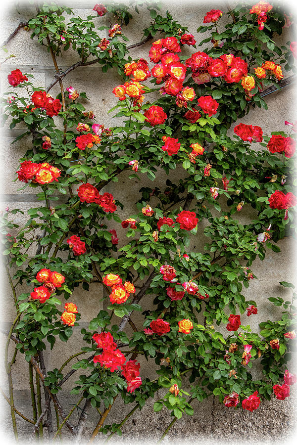 Roses Photograph - Wall Of Roses by Carolyn Derstine