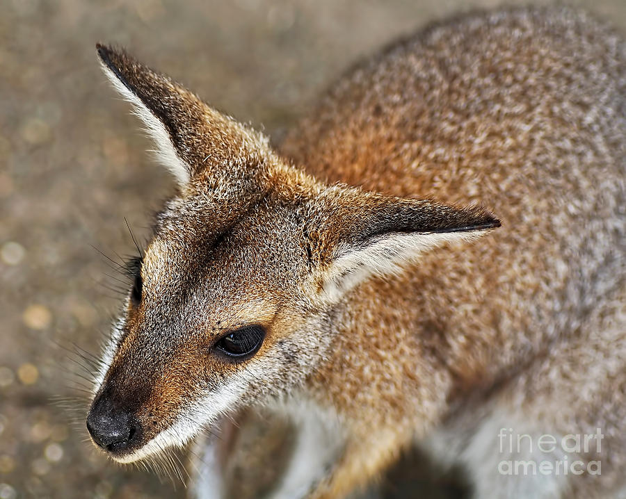 Portrait Photograph - Wallaby Portrait by Kaye Menner