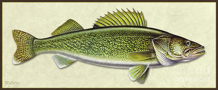 Walleye ID by Jon Q Wright