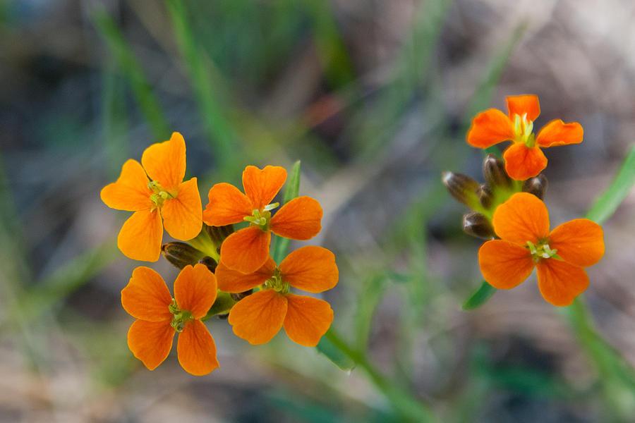Wallflower Photograph - Wallflower Wildflower by Cascade Colors