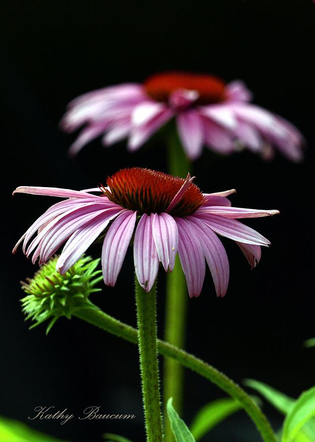 Lavender Photograph - Warm Lavender Coneflower by Kathy Baucum