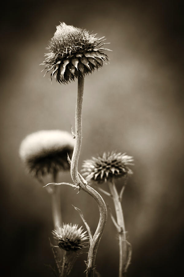 Purple Photograph - Warm Thistle by Marilyn Hunt