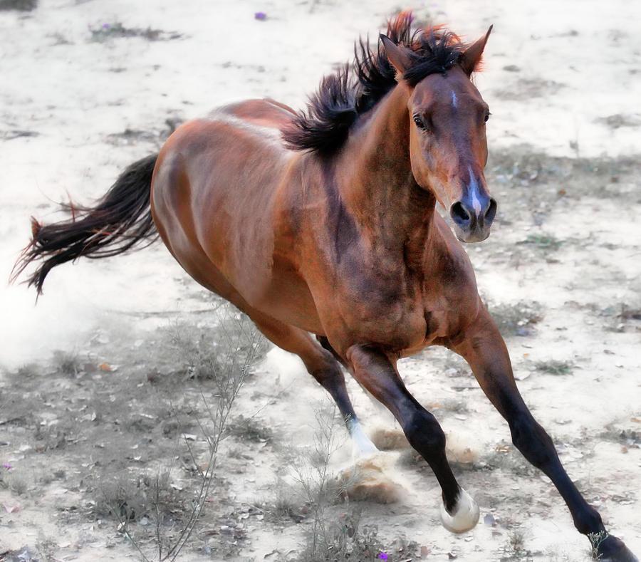 Horizontal Photograph - Warmblood Horse Galloping by Vanessa Mylett