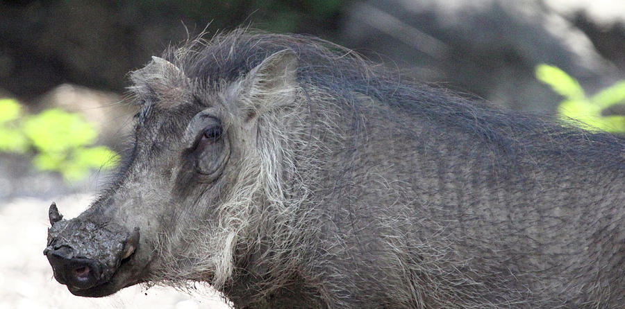 Animal Photograph - Warthog by Mary Haber