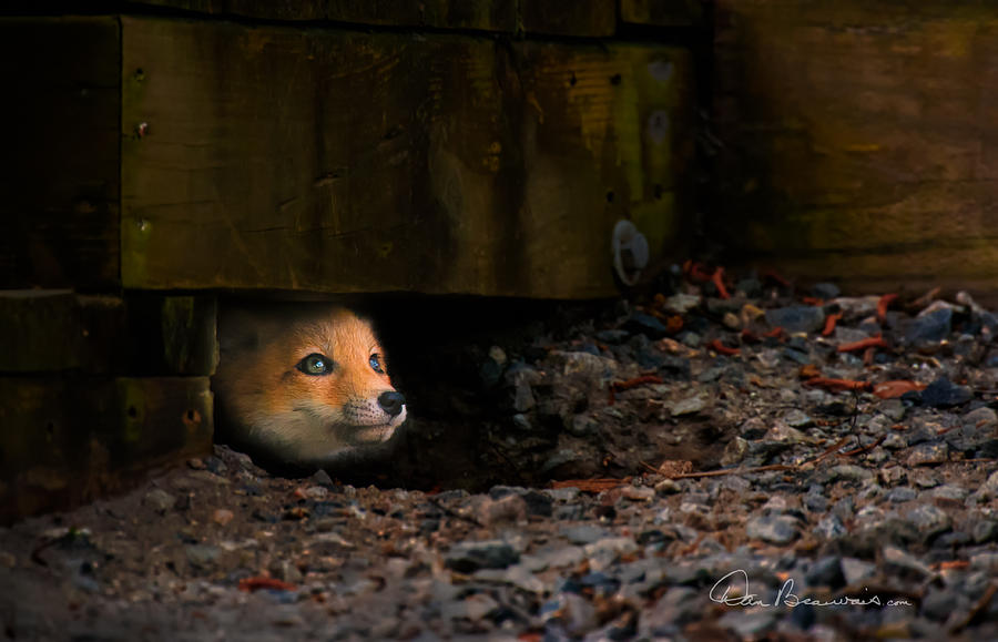 Wary Red Fox Kit 6204 Photograph