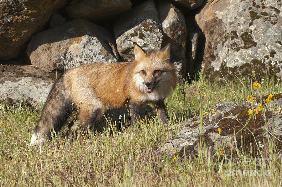 Red Fox Photograph - Wary Red Fox by Sandra Bronstein