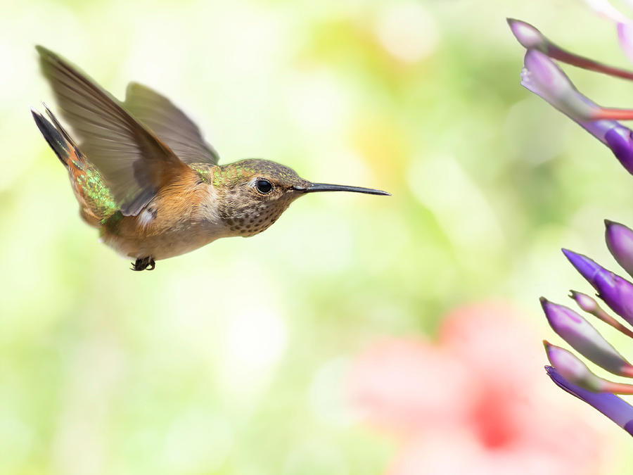Hummingbird Photograph - Washed Out by Mike Herdering