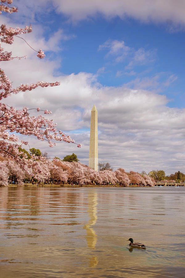 Washington Monument with cherry blossom by Rima Biswas