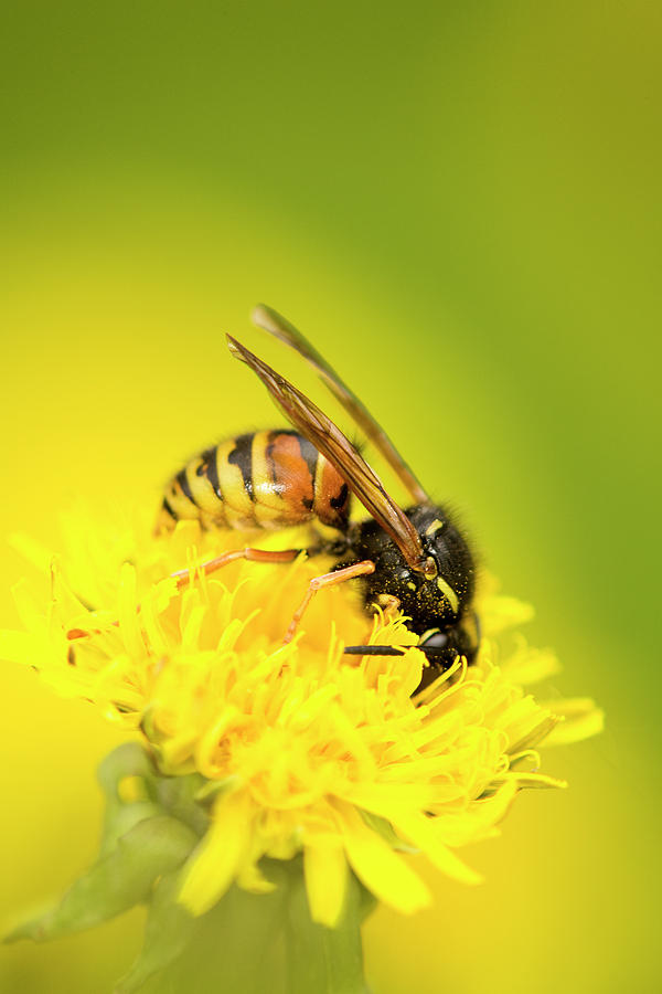 Wasp Photograph - Wasp by Jouko Mikkola