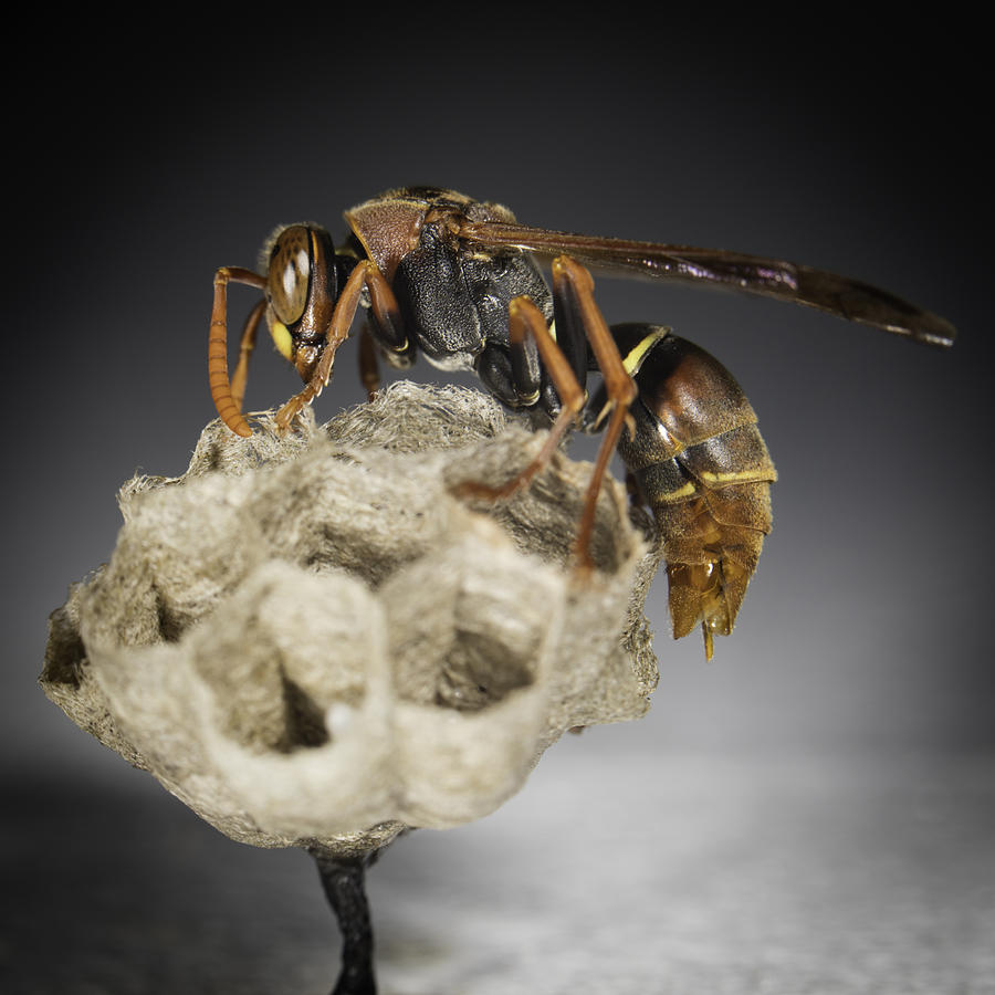 Macro Photograph - Wasp On A Nest by Chris Cousins