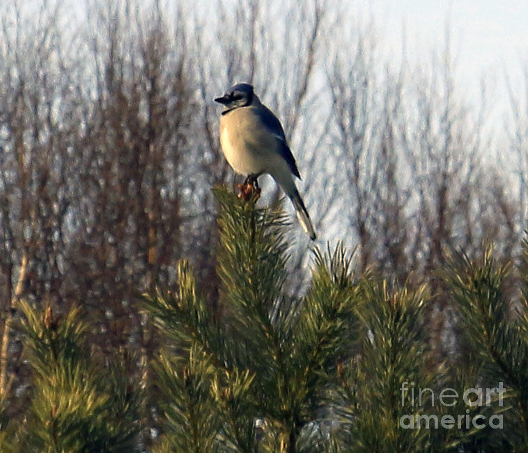 Bird Photograph - Watchful Blue Jay by Kathy DesJardins