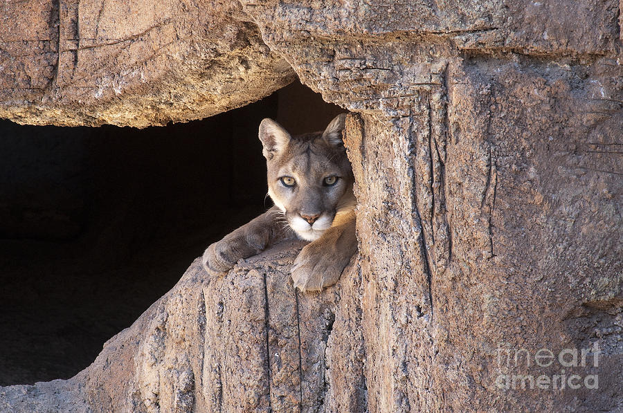 Cougar Photograph - Watchful Eyes by Sandra Bronstein
