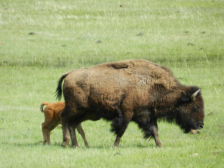 Watching A Bison Herd In Yellowstone National Park by Robin Neff-Smith