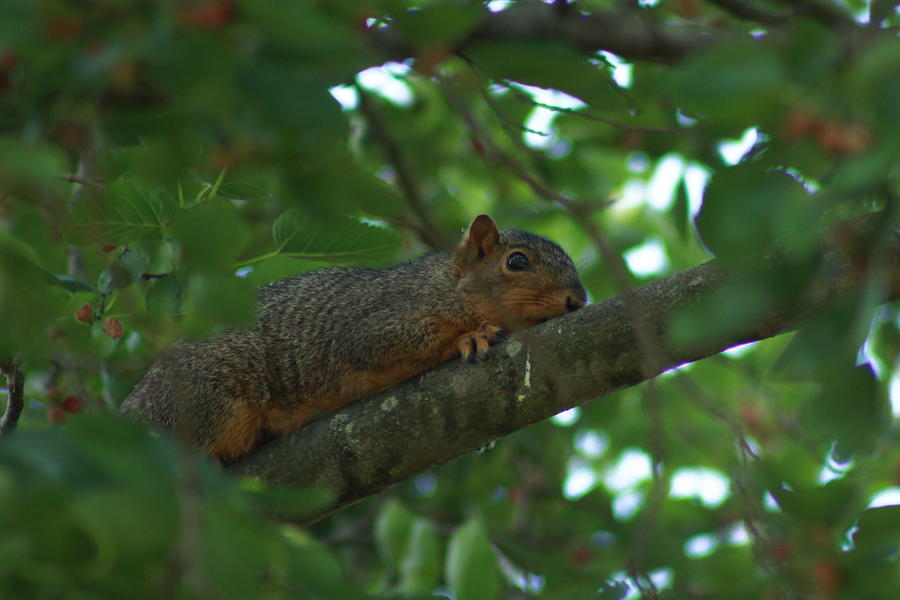Squirrel Photograph - Watching From Above by Brad Chambers