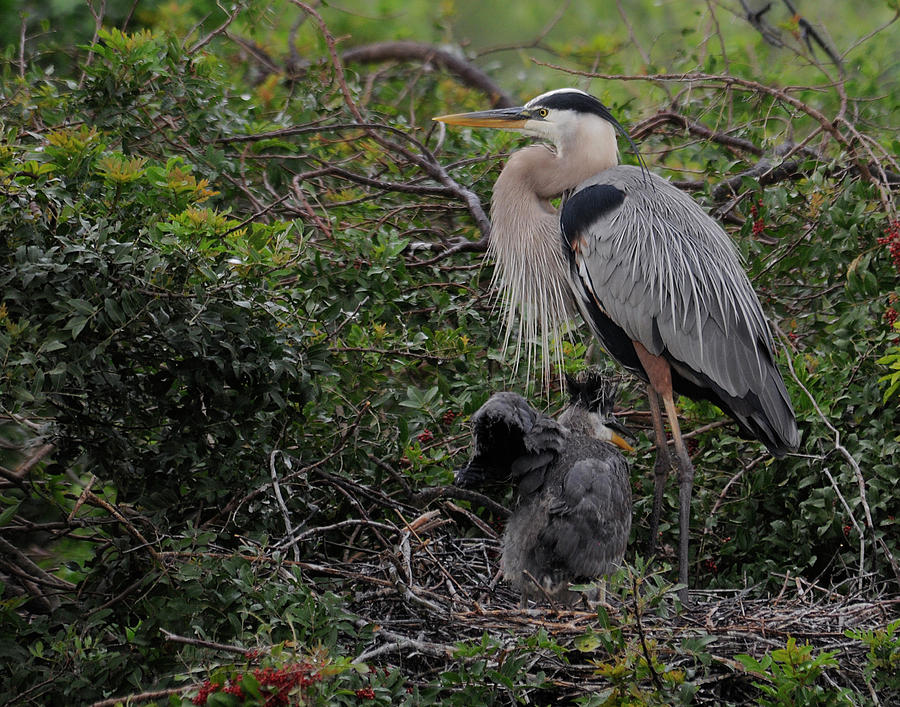 Heron Photograph - Watching Mother by Keith Lovejoy