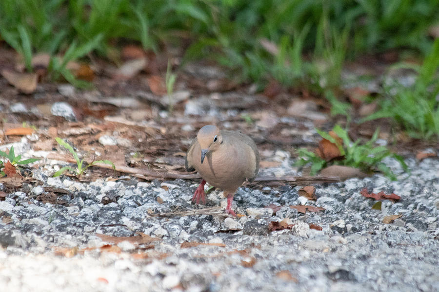 Mourning Dove Photograph - Watching My Step by JR Cox
