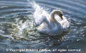 Swan Painting - Water Ballet - Mute Swan by Rebecca Latham