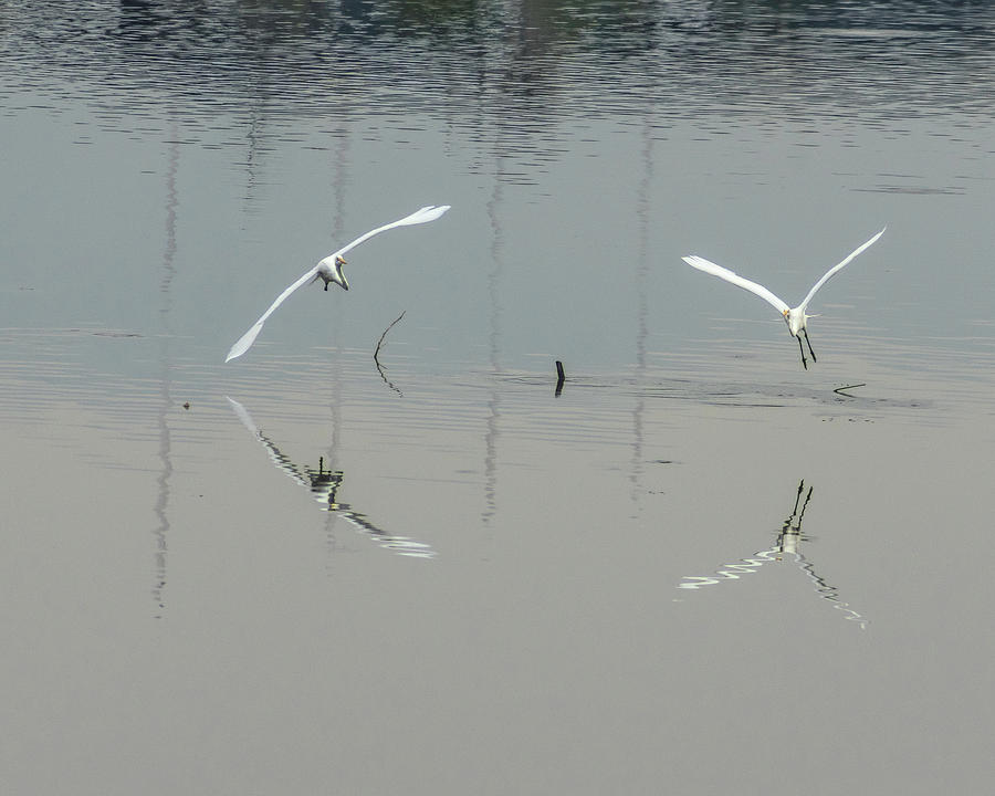 Egrets Photograph - Water Ballet by Mike Herdering