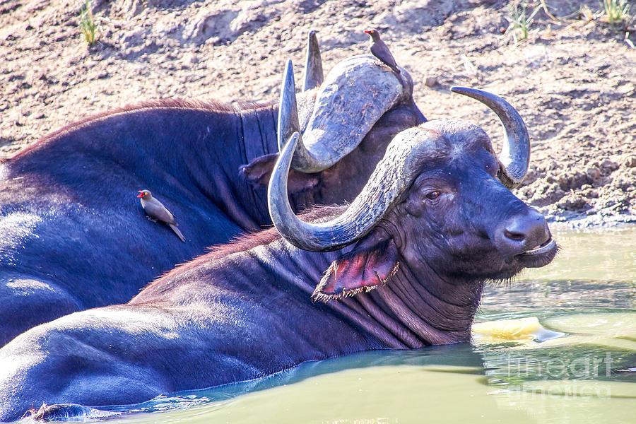 Water Buffalo Photograph
