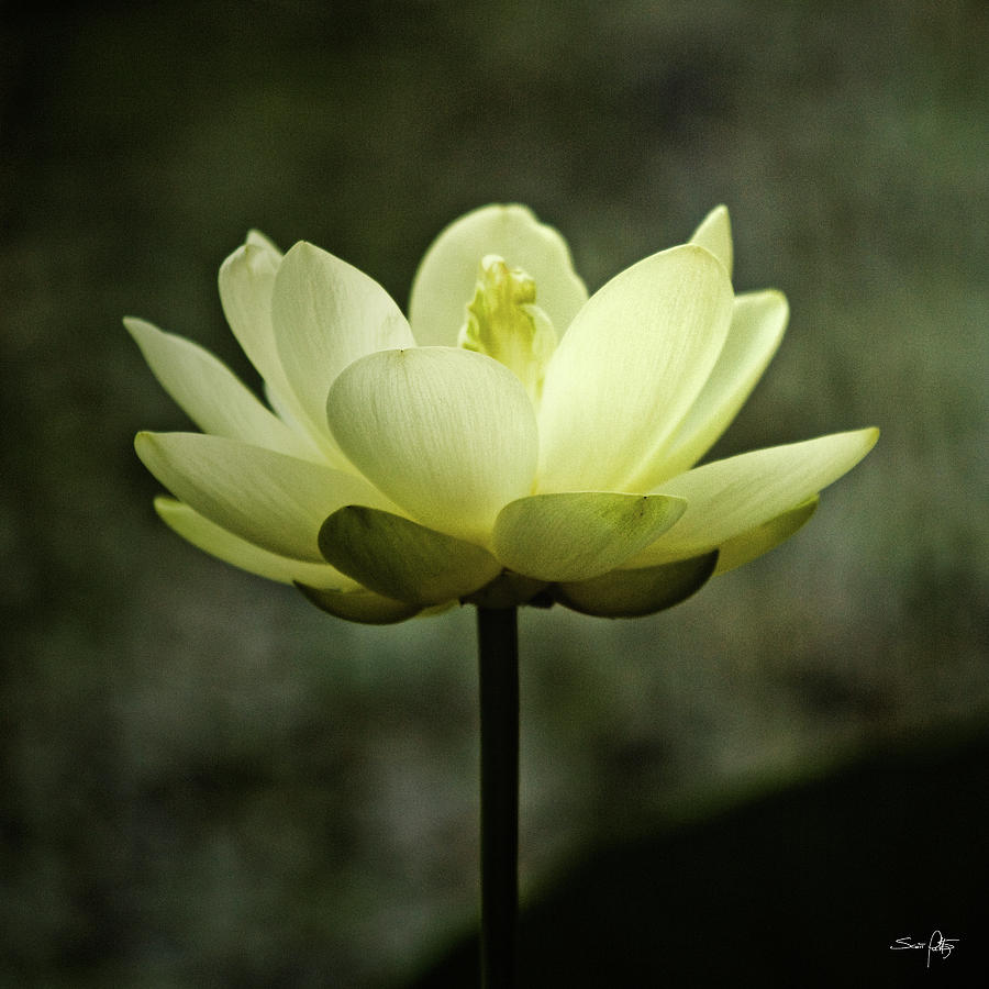 Lotus Photograph - Water Colors by Scott Pellegrin