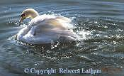 Swan Painting - Water Dancer - Mute Swan by Rebecca Latham