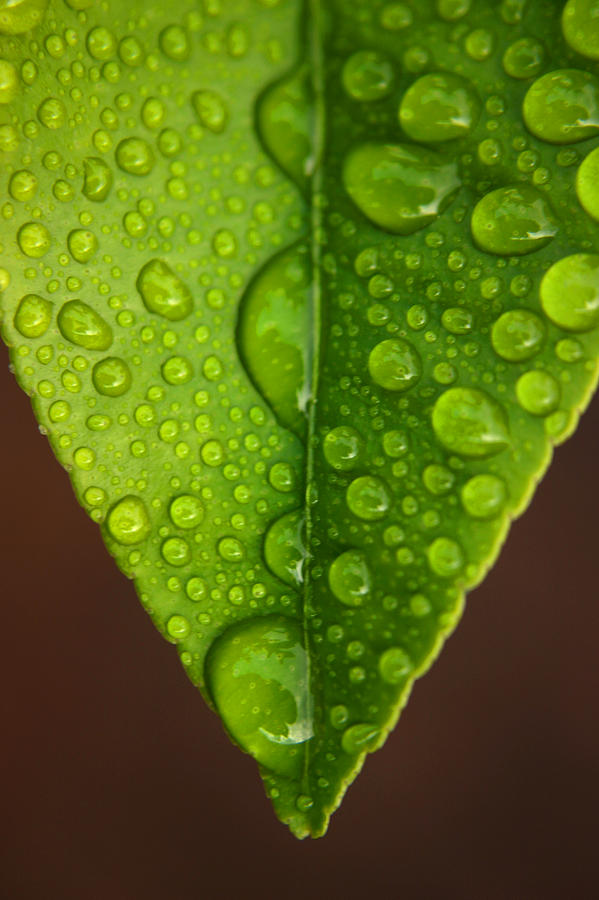 Leaf Photograph - Water Droplets On Lemon Leaf by PIXELS  XPOSED Ralph A Ledergerber Photography