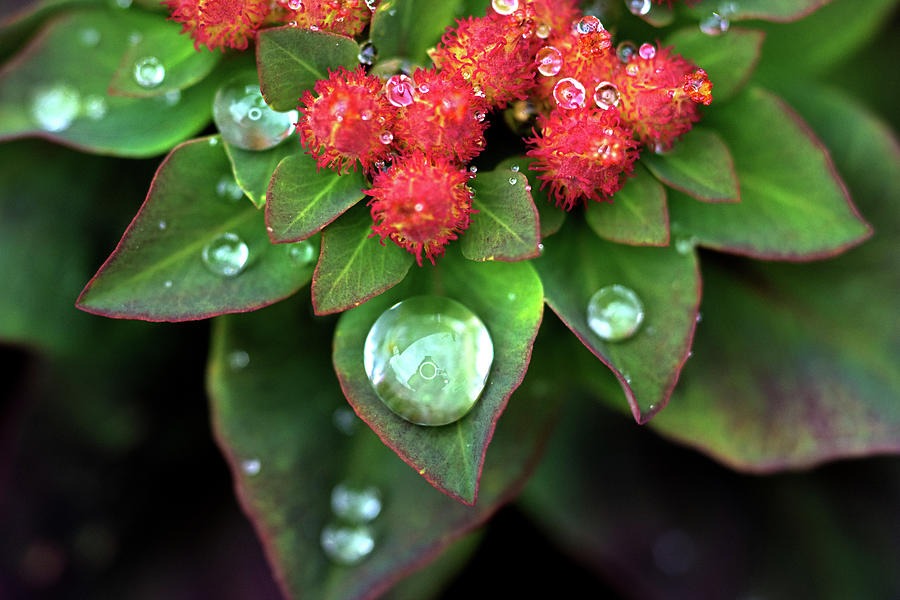 Water Drops on Christmas Flower by Crystal Wightman