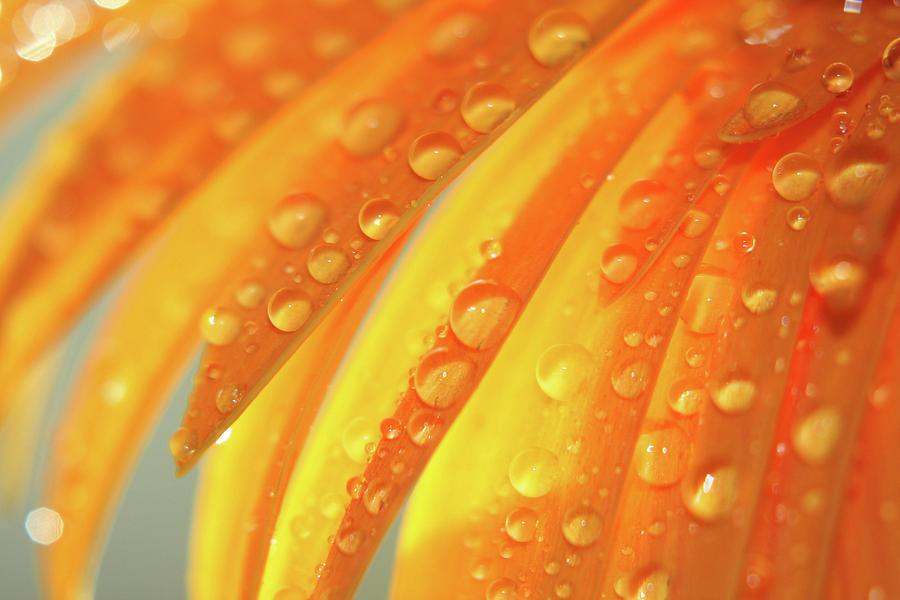 Geranium Daisy Photograph - Water Drops On Daisy Petals by Daphne Sampson