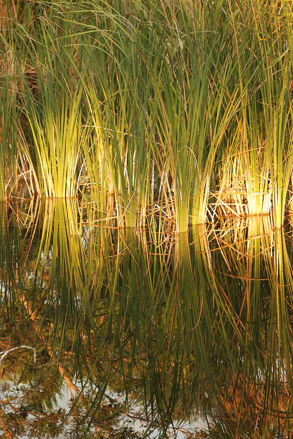 Grass Photograph - Water Grass In Sunset by Rob Hans