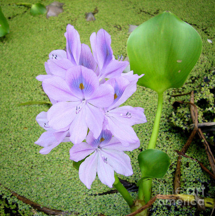 Flower Photograph - Water Hyacinth by Barbara Oberholtzer