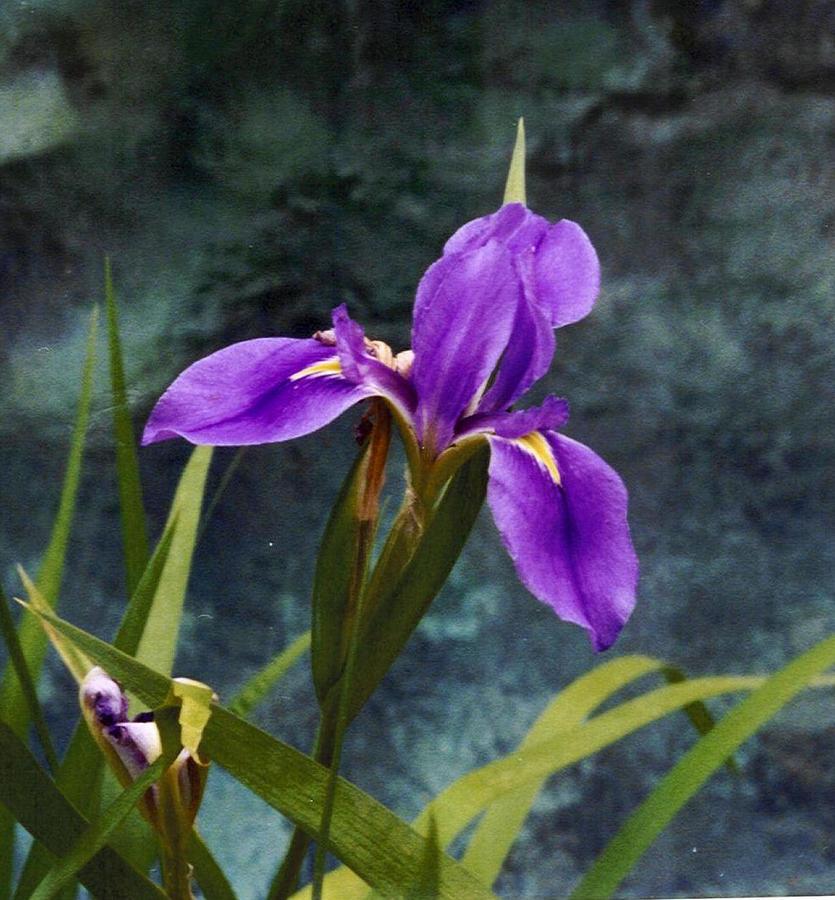 Iris Photograph - Water Iris by Rebecca Shupp