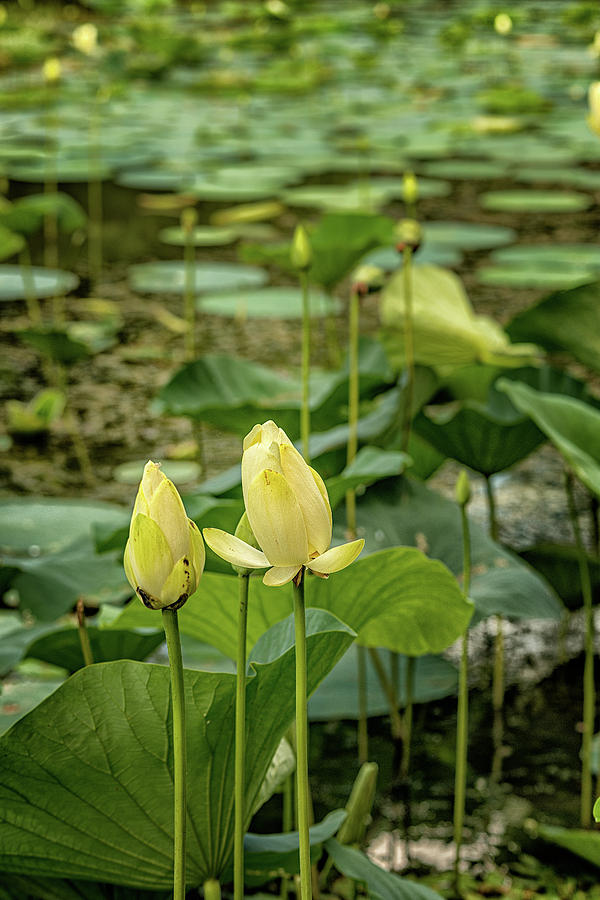 Water Lilies 1 by Victor Culpepper