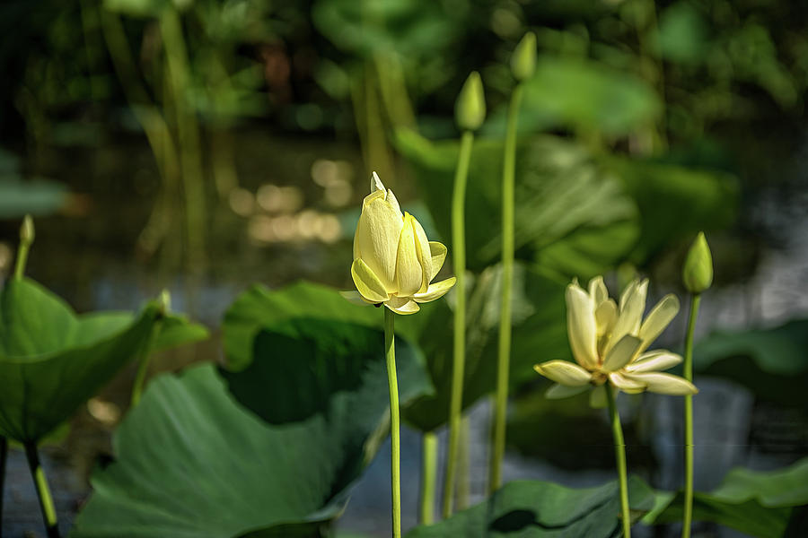 Water Lilies 2 by Victor Culpepper