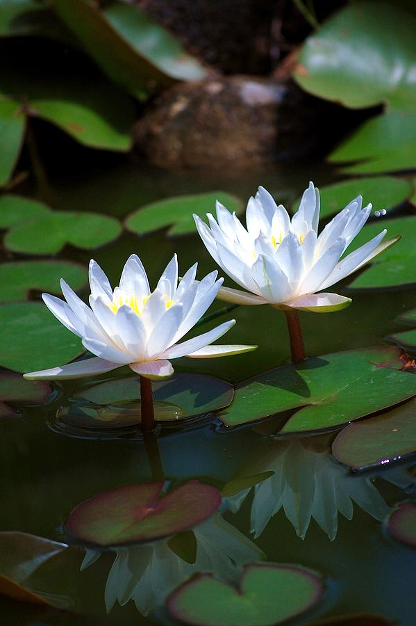 Water Lilies Photograph - Water Lilies II by Robert Meanor