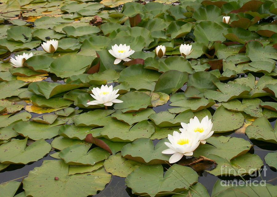 Water Photograph - Water Lilies by Laurie Eve Loftin