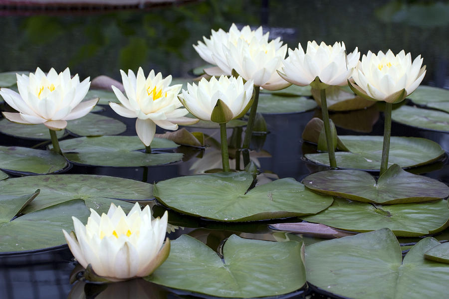 Waterlilies Photograph - Water Lilies by Mary Haber