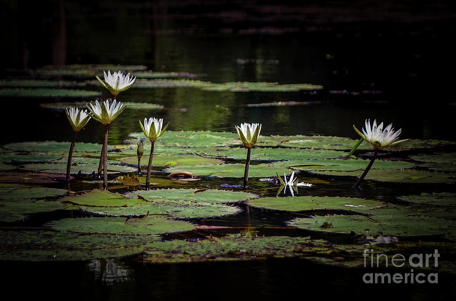 Water Lilies Of Panama In The Dark Photograph