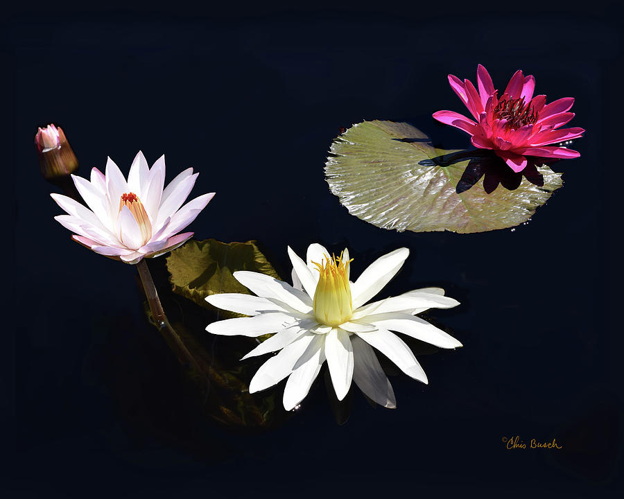 Water Lillies by Chris Busch