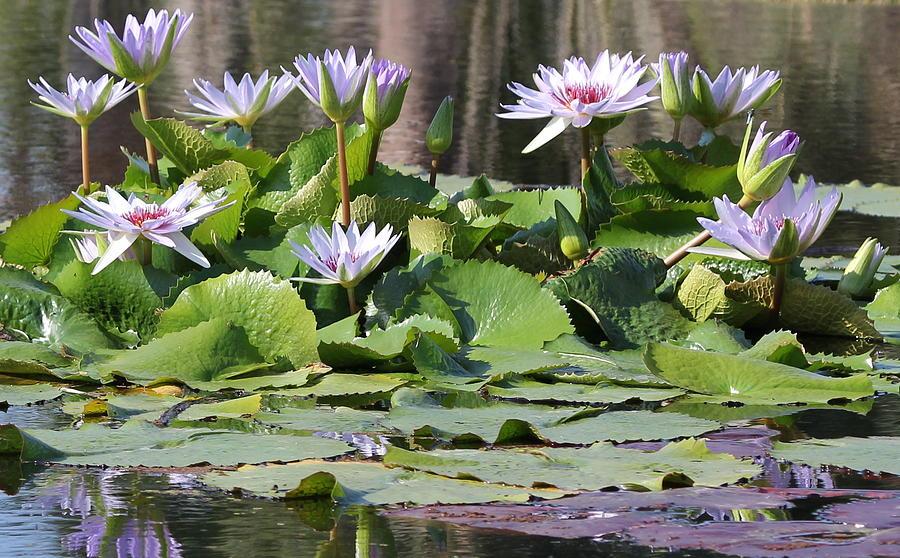 Flower Photograph - Water Lillies by Sean Allen