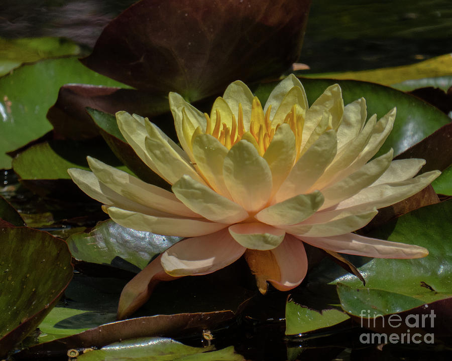 Water Lily 1 by Christy Garavetto