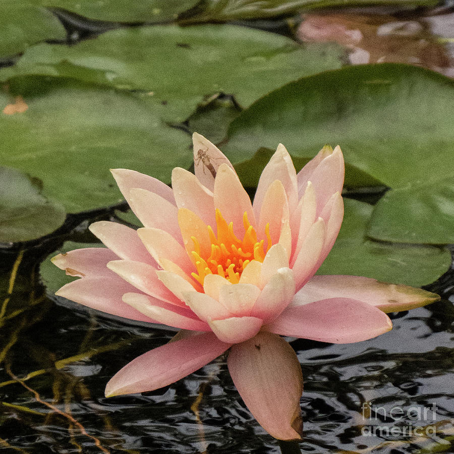 Water Lily 2 by Christy Garavetto