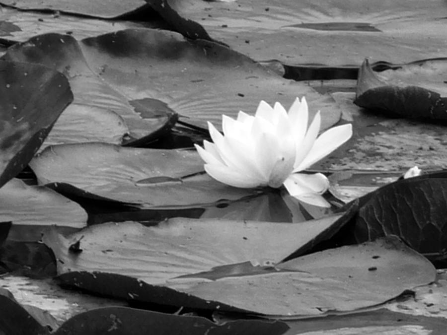 Flower Photograph - Water Lilly by Noelle  Kimberley