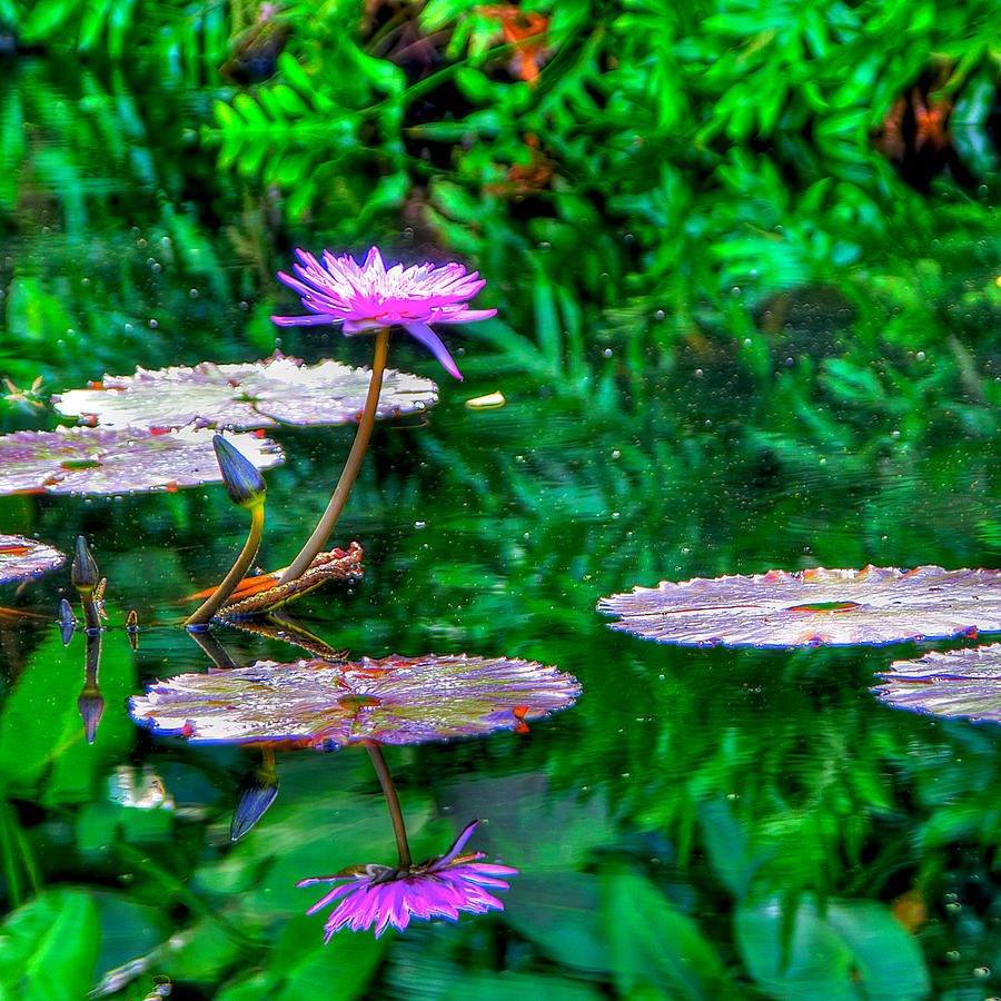 Water Lilly Photograph - Water Lilly by William Wetmore