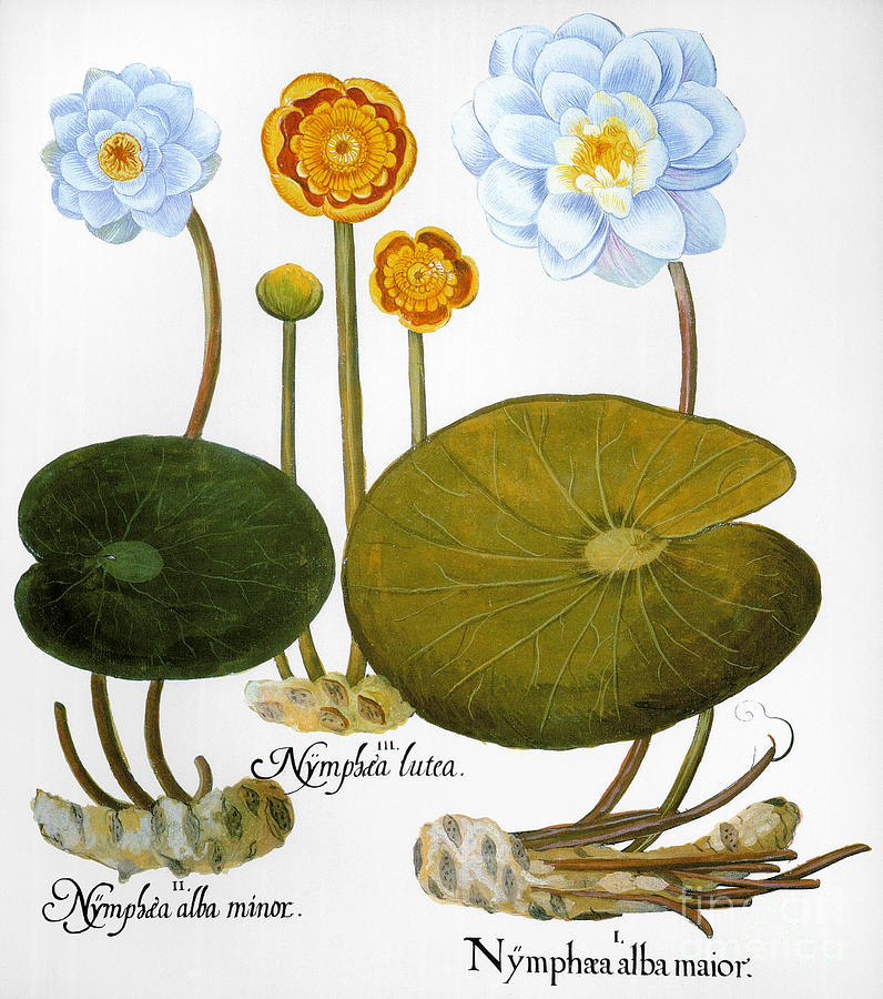 Basilius Photograph - Water Lily, 1613 by Granger