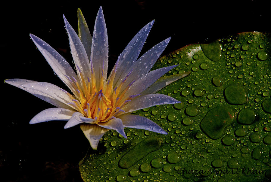 Green Photograph - Water Lily 2 by Chaza Abou El Khair